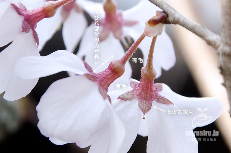 コヒガンの小花柄と萼の特徴 鎌倉市・東慶寺 2017/03/25