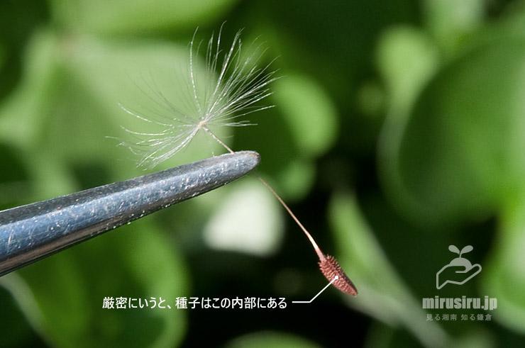 アカミタンポポの種子 茅ヶ崎市浜之郷 2020/04/02