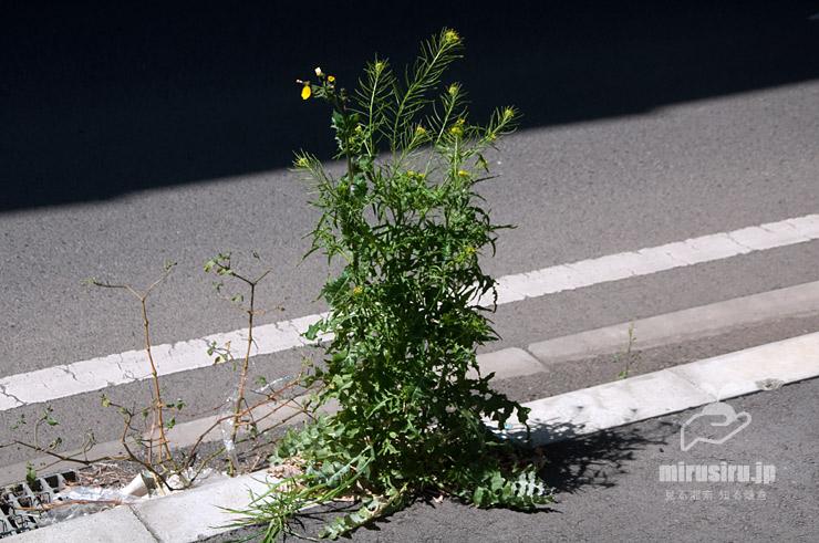 アスファルトの隙間に生えたホソエガラシ(左向きの花はノゲシ) 茅ヶ崎市西久保・新湘南バイパス側道 2020/04/11