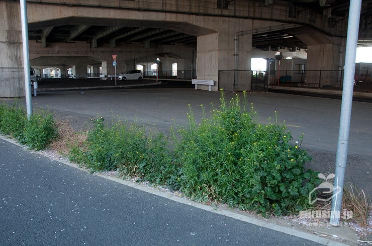 歩道沿いに生えた、典型的な姿のホソエガラシ 茅ヶ崎市西久保・新湘南バイパス側道 2020/04/11