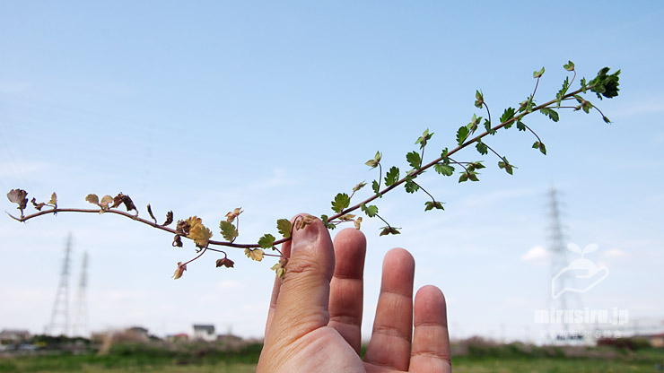 標準的と思われるオオイヌノフグリの長く伸びた茎 寒川町田端 2020/04/11