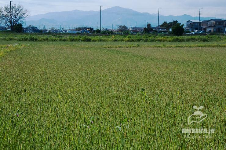 田起こし前の田んぼに大群生したスズメノテッポウ、後方は大山 寒川町田端 2020/04/11