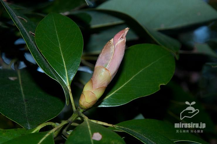 タブノキの混芽(葉芽と花芽が一緒になっているもの) 茅ヶ崎市萩園・十二天神社 2020/04/11