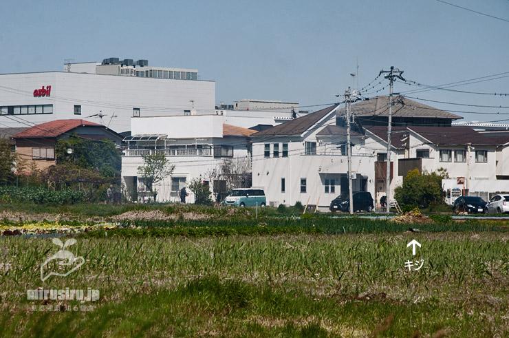 農地で餌を探しているキジの雄(白色矢印) 寒川町田端 2020/04/14