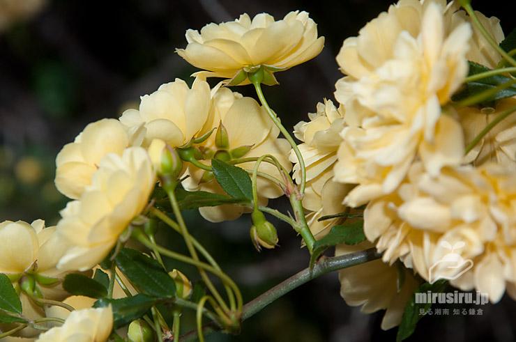 モッコウバラの葉柄や萼 茅ヶ崎市萩園 2019/04/19