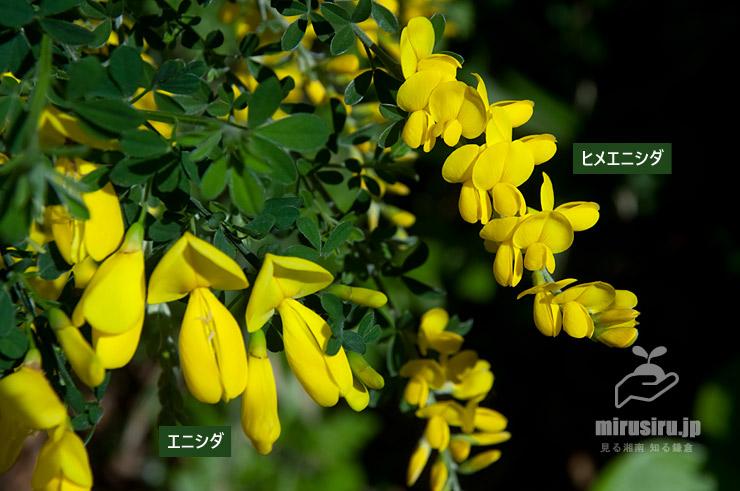 エニシダ(持参した切り枝)とヒメエニシダの大きさの比較 茅ヶ崎市・中央公園 2020/04/25