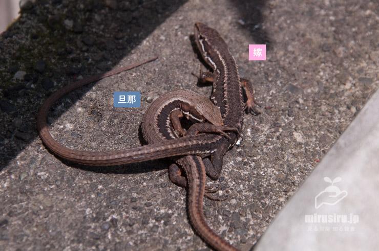 カナヘビの交尾 茅ヶ崎市浜之郷 2020/04/30