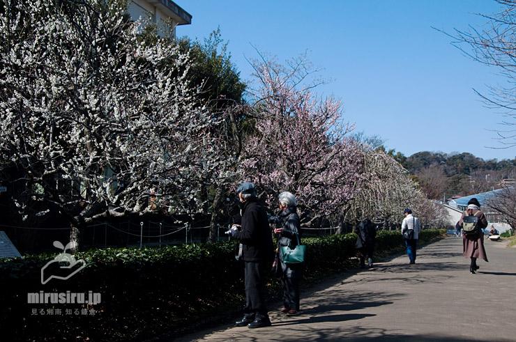 ウメ(咲き終わり) 鎌倉市・大船フラワーセンター 2020/02/24