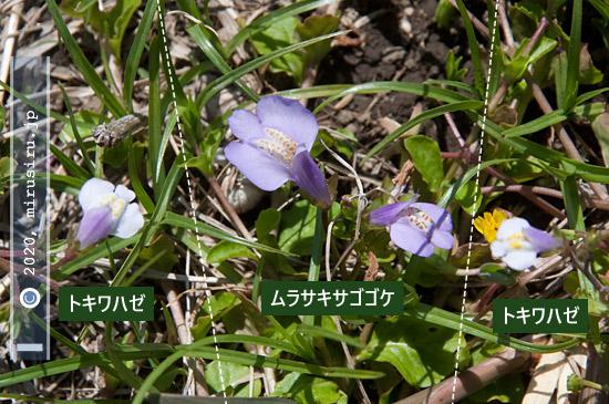 トキワハゼとムラサキサギゴケの花の比較