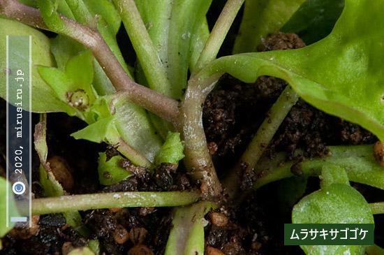 ムラサキサギゴケの毛がない茎の基部