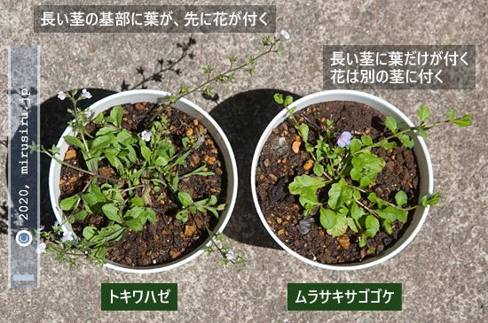 トキワハゼとムラサキサギゴケの花の付き方の違い