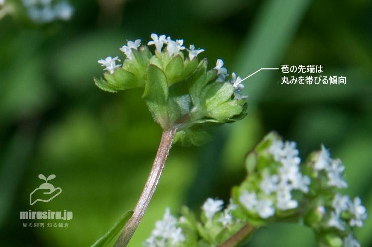ノヂシャの苞 茅ヶ崎市萩園・相模川 2020/05/08
