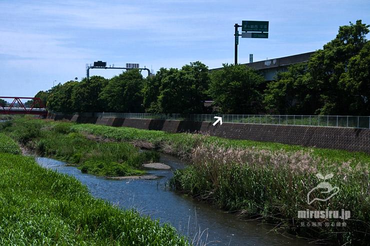 川沿いに植えられたムクノキ 茅ヶ崎市今宿・小出川 2020/05/15