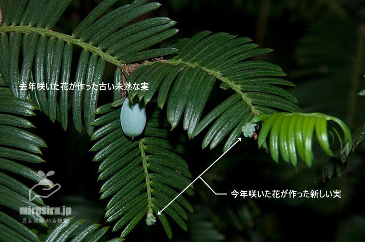 イヌガヤの枝に同時に付いている、去年分と今年分の二種類の実 茅ヶ崎市・鶴嶺八幡社 2020/05/15