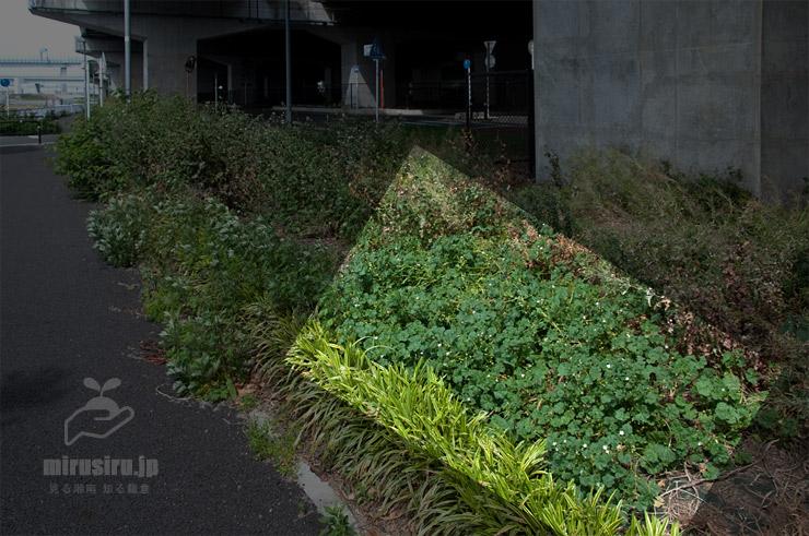 道端の荒れ地に生えたゼニバアオイ 茅ヶ崎市西久保・新湘南バイパス側道 2020/05/15