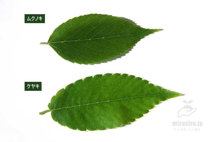 ムクノキとケヤキの葉の比較 2020/05/17