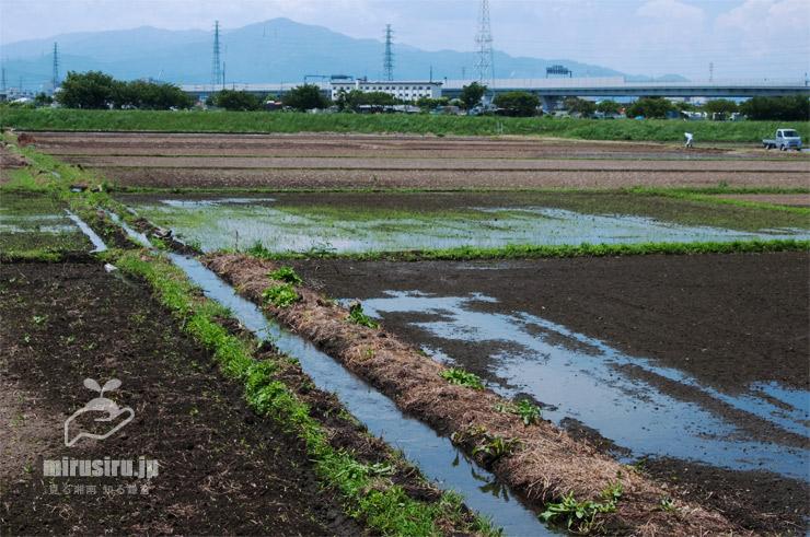 水が引き入れられる田んぼ、一日で満水になる 茅ヶ崎市・湘南タゲリ米の里 2020/05/30