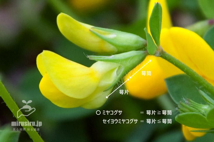 ミヤコグサの萼 葉山公園 2017/05/17