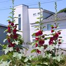 タチアオイ 鎌倉市小町・JR横須賀線 2017/06/04