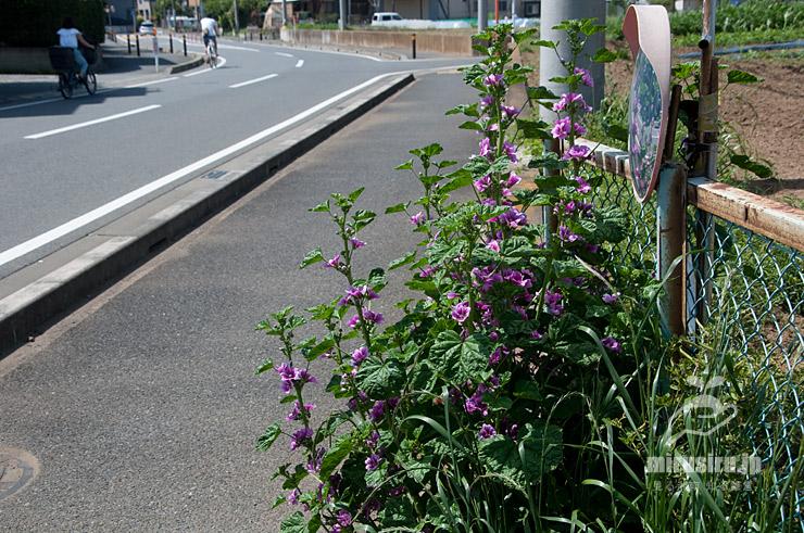 道端に生えたゼニアオイ 茅ヶ崎市萩園 2018/04/29