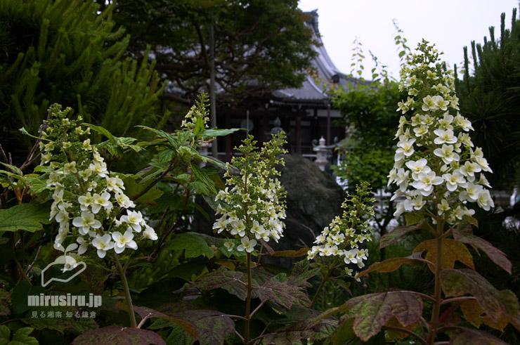 カシワバアジサイ 鎌倉市・本覚寺 2018/05/18