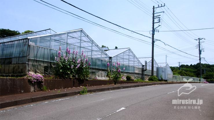 タチアオイ 茅ヶ崎市芹沢・予約型乗合バス乗合所「芹沢-10」向かい 2020/06/05
