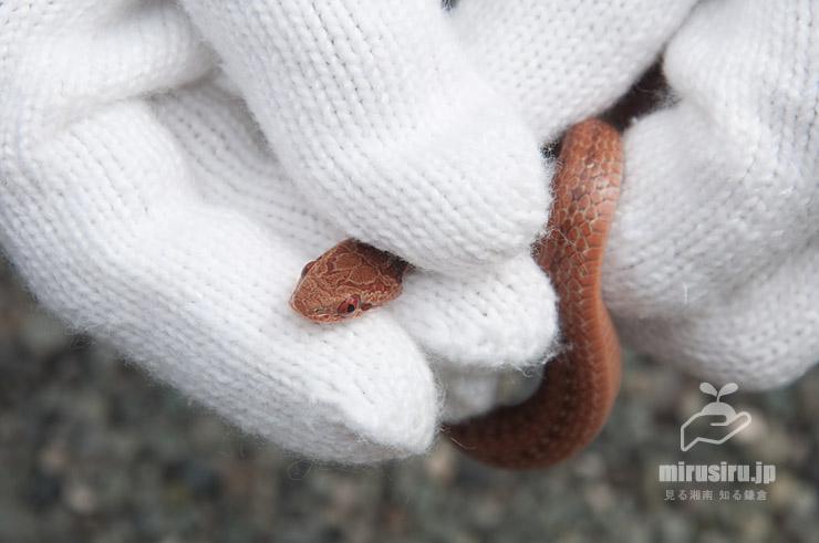 シマヘビの幼体、追いかけまわしたこともあって2回(軍手を)咬まれた 茅ヶ崎市浜之郷 2020/06/10