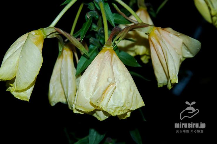 オオマツヨイグサの咲き終わってしぼんだ花殻 茅ヶ崎市浜之郷 2020/06/14 19:02