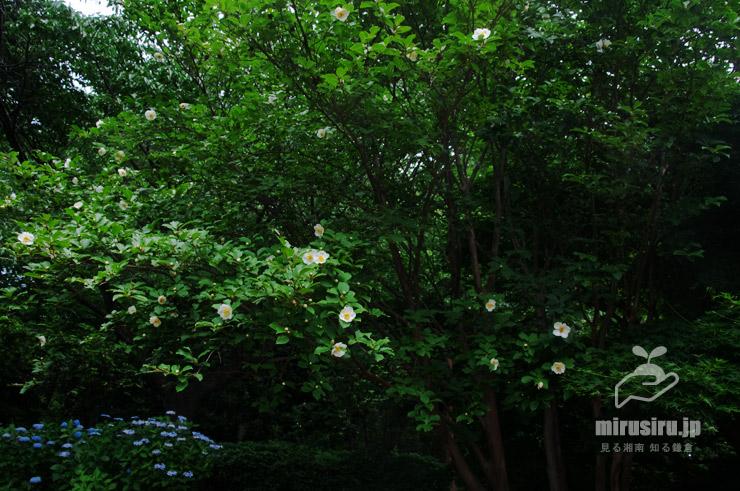 ナツツバキ 相模原市緑区・相模原北公園 2020/06/16