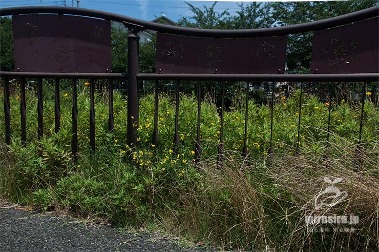 草地に生えたネビキミヤコグサ 藤沢市・引地川 2020/06/20