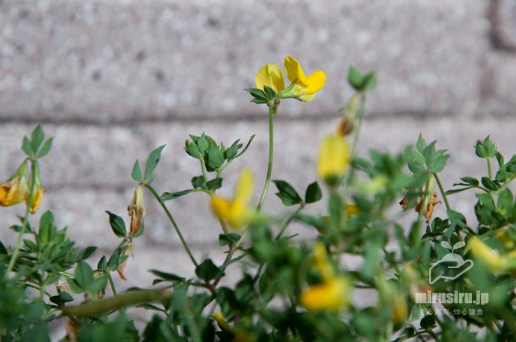 ミヤコグサの花だけが立ち上がる姿 茅ヶ崎市浜之郷 2020/06/21