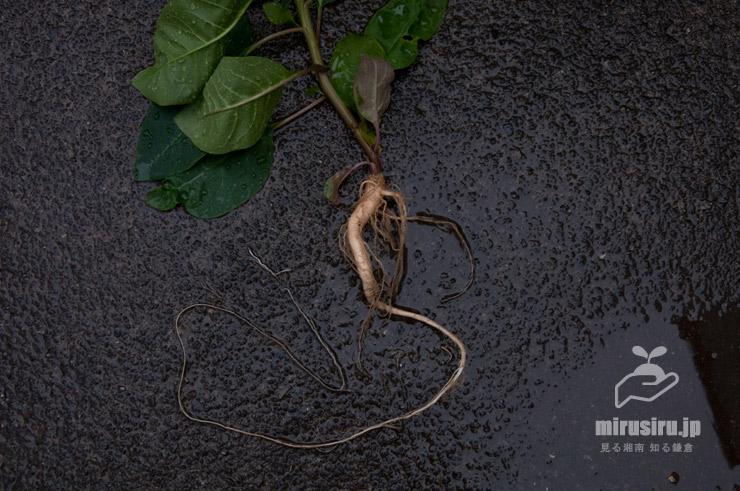 ヨウシュヤマゴボウの若い一年物の根(曲がっているのは鉢で栽培したため) 茅ヶ崎市浜之郷 2020/06/21