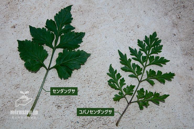 センダングサとコバノセンダングサの葉の比較 2020/06/24