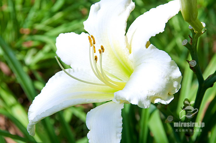 ヘメロカリス('白線流し') 平塚市・花菜ガーデン 2020/06/29