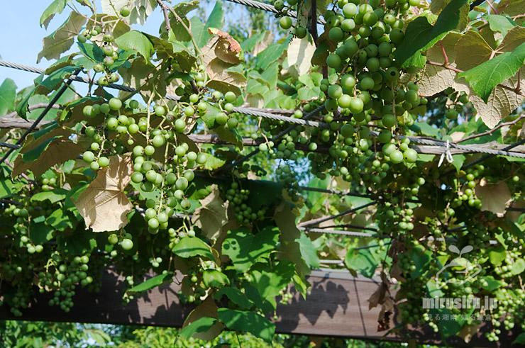 ブドウの棚 平塚市・花菜ガーデン 2020/06/29