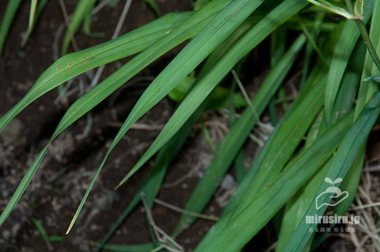 ユウスゲ(キスゲ)の葉 平塚市・花菜ガーデン 2020/06/29