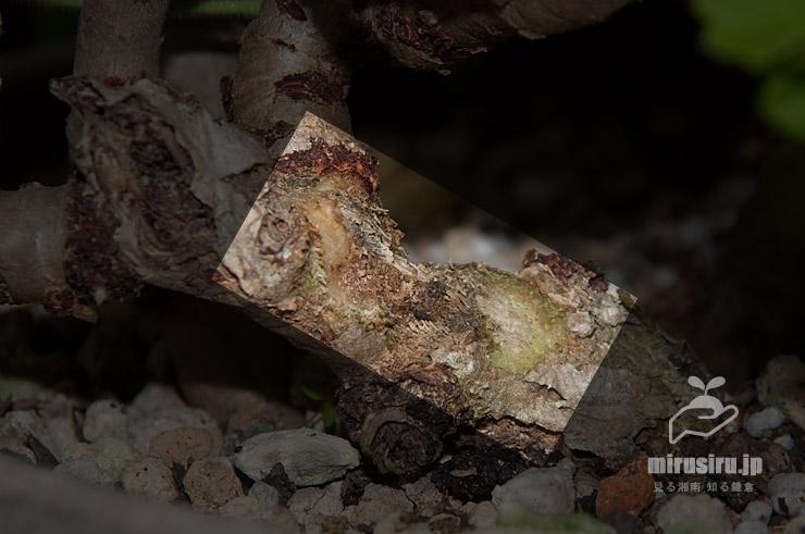 ゴマダラカミキリが四日間かじり続けたゼラニウムの茎にできた食痕 茅ヶ崎市浜之郷 2020/07/08