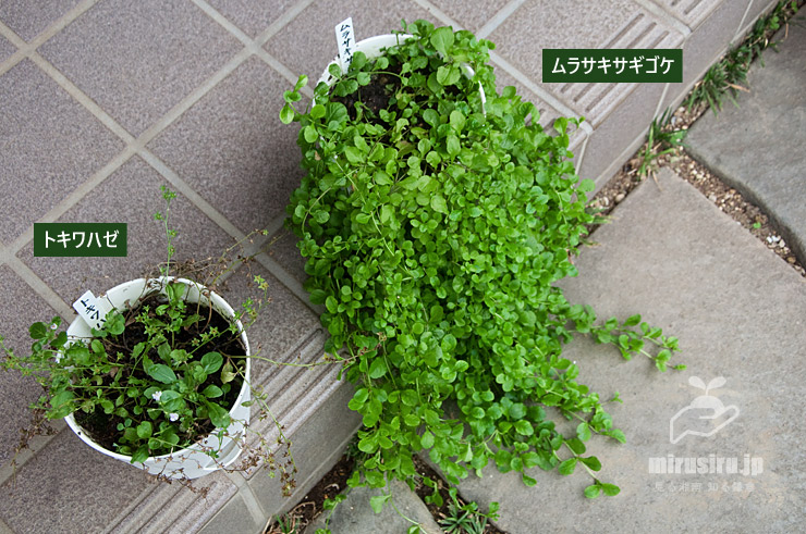梅雨終盤のトキワハゼとムラサキサギゴケの比較 茅ヶ崎市浜之郷 2020/07/20