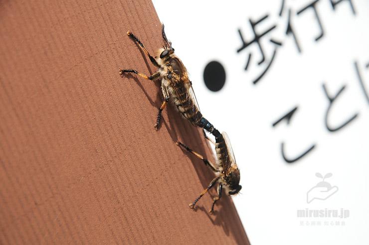 交尾中のシオヤアブ 横浜市栄区・小菅ケ谷北公園 2019/06/26