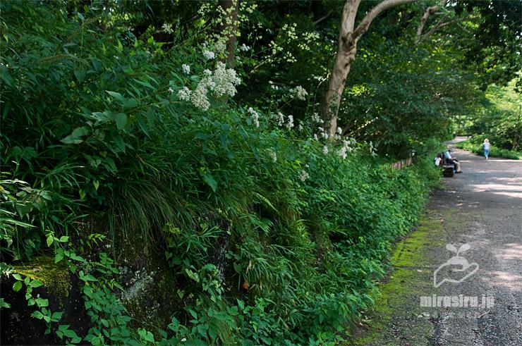 林縁に生えたヒヨドリバナ 横浜市緑区・四季の森公園 2020/08/01