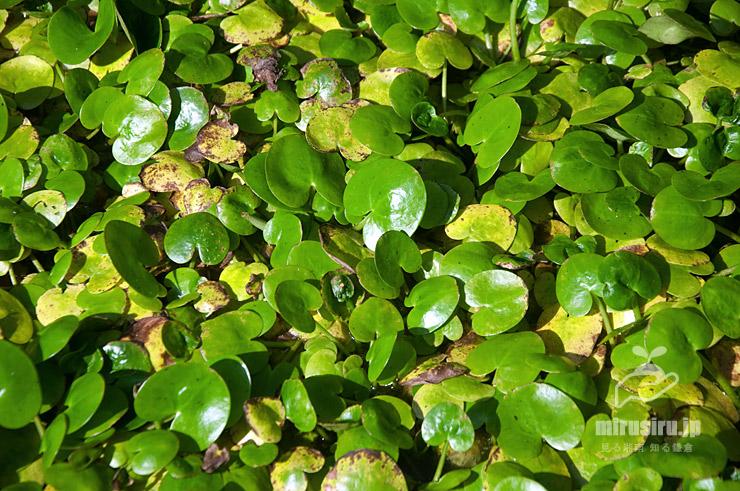水槽で密生しすぎているトチカガミ 東京都調布市・神代植物公園生物多様性センター 2020/08/04