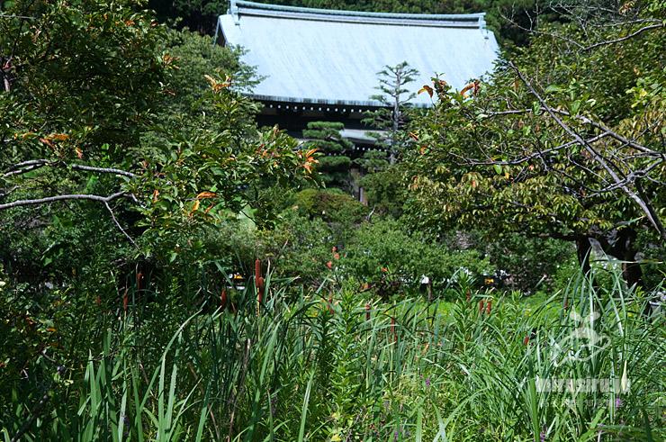 ガマが生えた湿地 鎌倉市・龍宝寺 2020/08/06