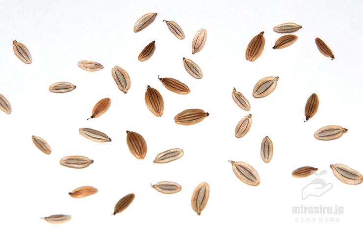 アシタバの種子(裏表で線の本数が異なる) 2020/08/09