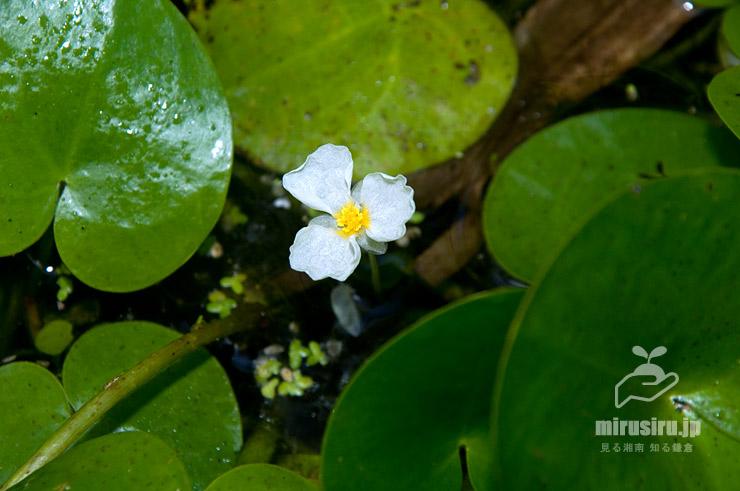 トチカガミの雄花 横浜市栄区・横浜自然観察の森 2020/08/11 09:34