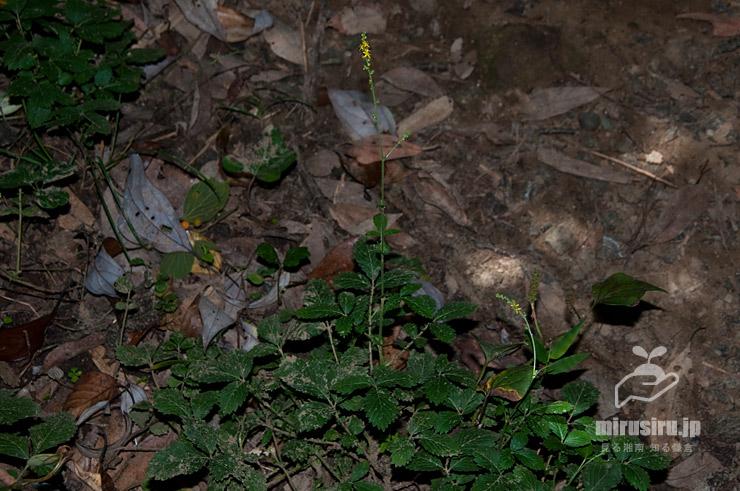 ヒメキンミズヒキ 横浜市栄区・横浜自然観察の森 2020/08/11