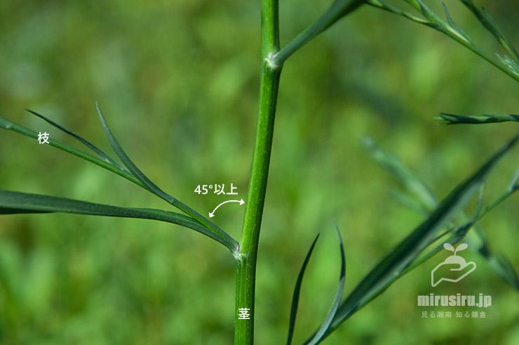 ヒロハホウキギクの茎と、横向きに伸びた枝 寒川町一之宮 2020/08/20