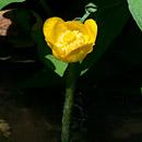 自生の姿が再現されたコウホネ 海老名市大谷・貫抜川放水路 2020/09/04