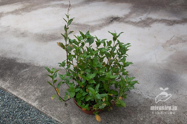 アイ(タデアイ)の鉢植え 茅ヶ崎市浜之郷 2020/09/06