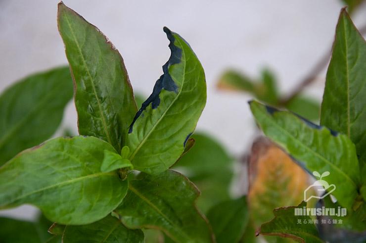 アイ(タデアイ)の傷んで藍色に変色した葉 茅ヶ崎市浜之郷 2020/09/06