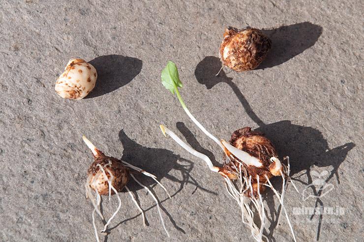 ハンゲショウの塊茎(半夏、左上は薄皮を剥いたもの) 茅ヶ崎市浜之郷 2020/09/06